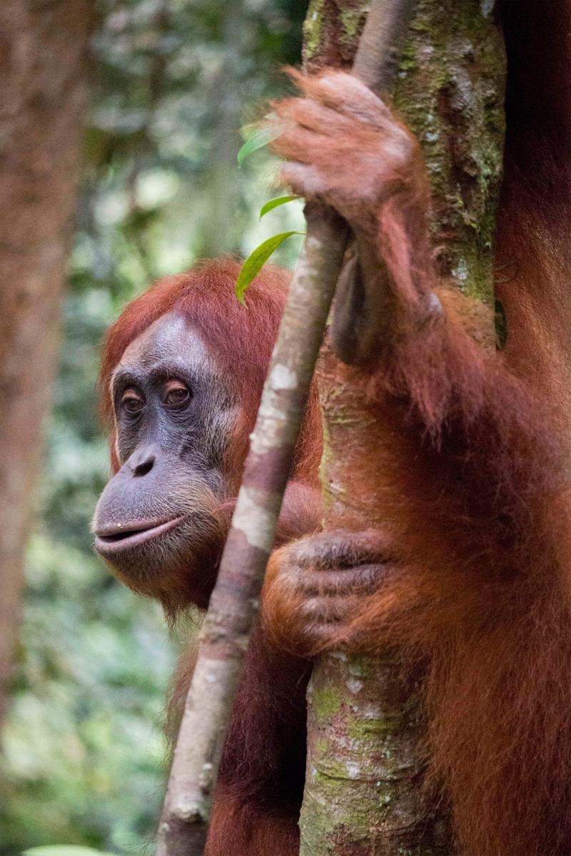 Genevieve French Photography - #6 Sumatran Orangutan (2019)