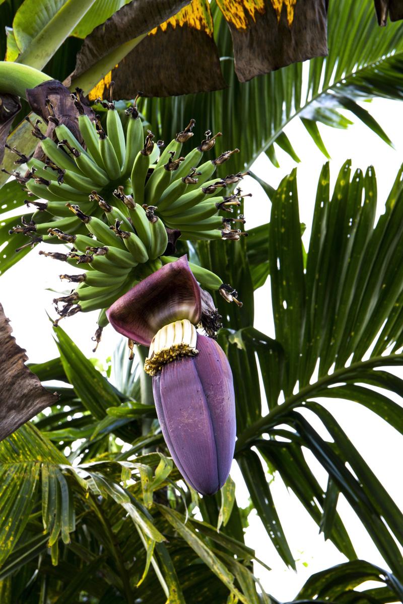Genevieve French Photography - #4 Banana Tree (2019)