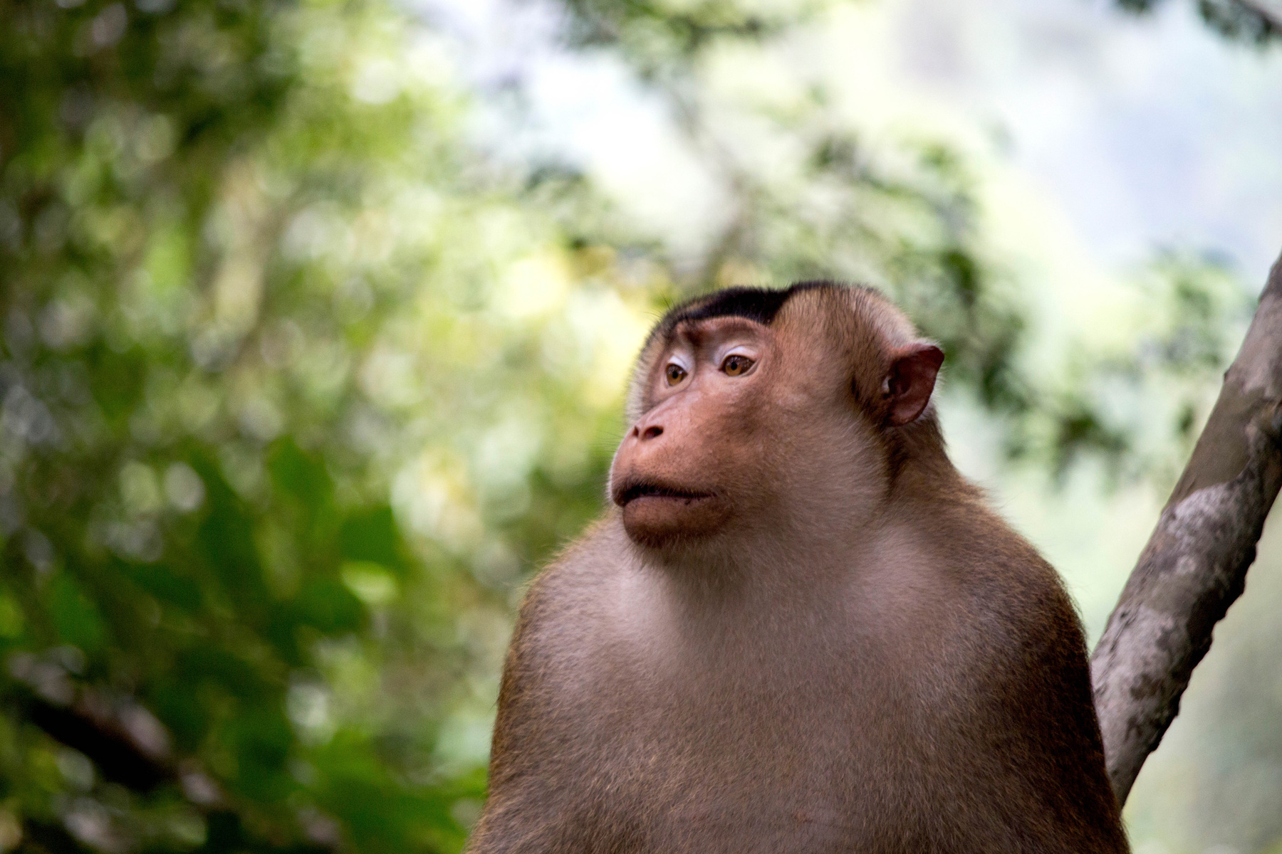 Genevieve French Photography - #1 Southern Pig Tailed Macaque (2019)