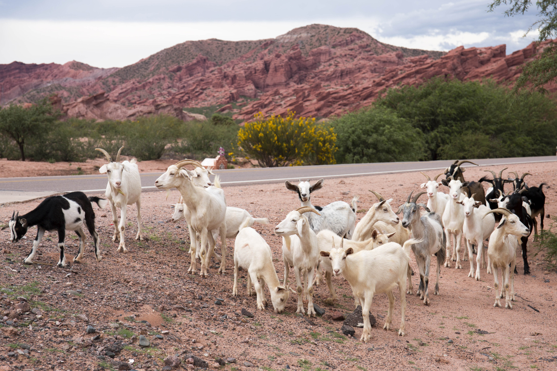 Genevieve French Photography - #9 Jujuy Goats (2020)