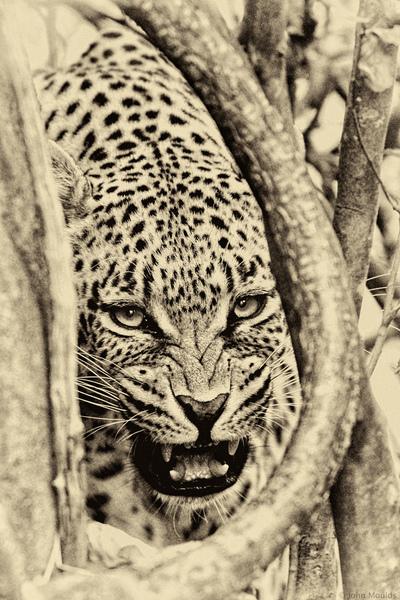 face of vietnam - Leopards Lair