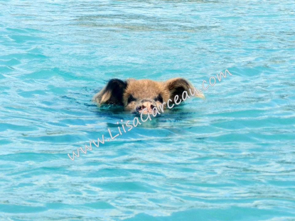 Bespoke Art by Liisa Garceau - Swimming pig Big Major Island, Bahamas.