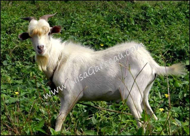 Bespoke Art by Liisa Garceau - Billy Goat Gruff Aitutaki, Cook Island.