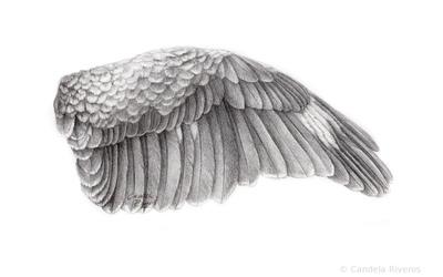 Kookaburra Wing